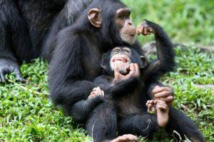 chimpanzeeqq